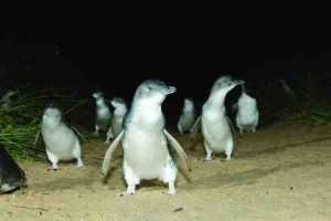 Penguins waddling towards their burrows